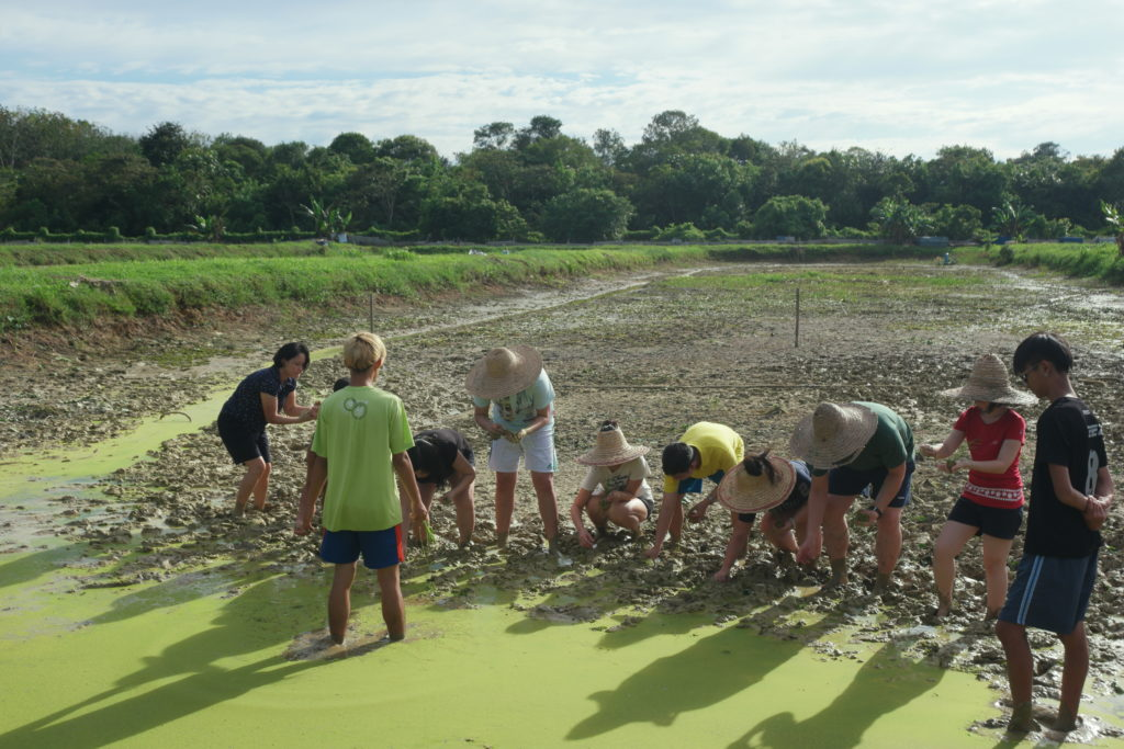 Paddy planting in progress